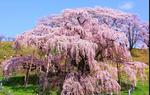 最近の花見は外国の観光客が増えたよ。